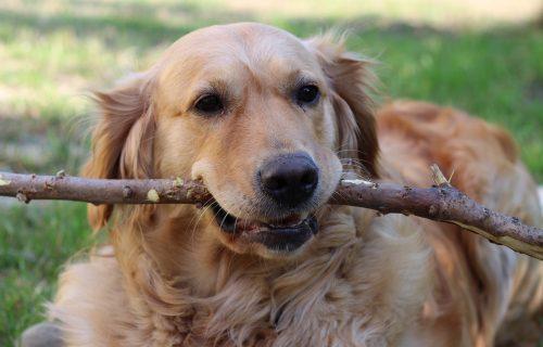 Pas koji je voleo ŠTAPOVE: Nisu za ogrev, ali ih on uporno donosi na GOMILU (VIDEO)