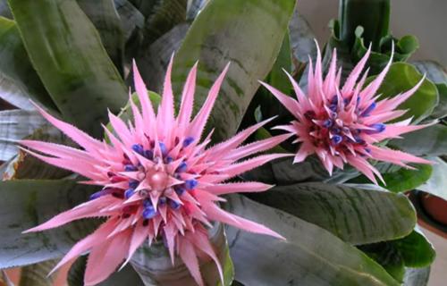 Ehmeja: Egzotika tropskih krajeva u vašem domu (FOTO+VIDEO)