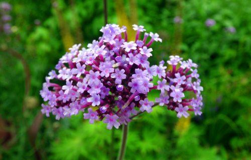 Verbena: Prelepi sitni cvetići koji krase vrtove i žardinjere (FOTO+VIDEO)
