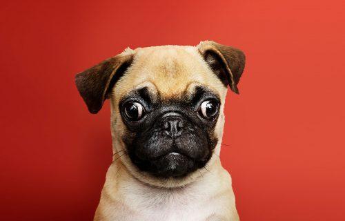 Ma šta to PIŠTI? Neki zvukovi su okidači za sreću: Preslatki izazov oduševio je vlasnike pasa (VIDEO)
