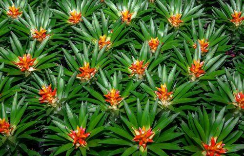 Bromelija: Neobična biljka koja pomaže u sprečavanju hrkanja (FOTO+VIDEO)