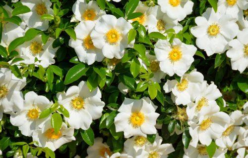 Gardenija: Prelepa biljka voštanih cvetova (FOTO+VIDEO)