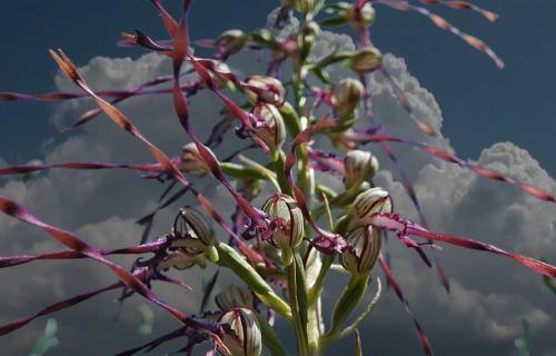 Jadranska kozonoška: Prelepa divlja ORHIDEJA sa 40 cvetova, raste u dolini Dunava (FOTO+VIDEO)