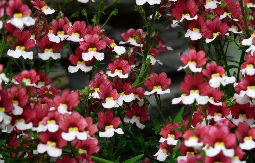 Nemesija: Šarena i vesela, cvet koji je idealan za svaki vrt (FOTO+VIDEO)