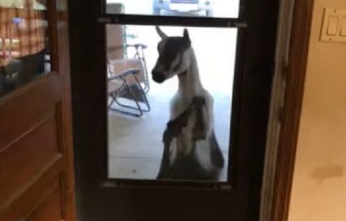 Komšije oduševljene: Koza im zakucala na vrata, došla na kafu i druženje (VIDEO)