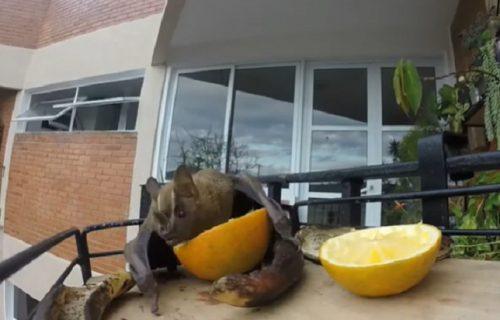 I to je moguće: Slepi miš ne može bez limuna, krade ga gde god ga vidi (VIDEO)