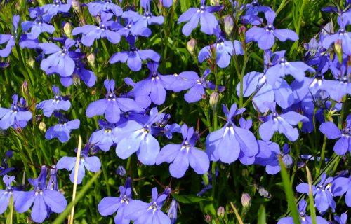 Lobelija: Prelepi plavi cvetići koji pomažu prilikom odvikavanja od pušenja (FOTO+VIDEO)
