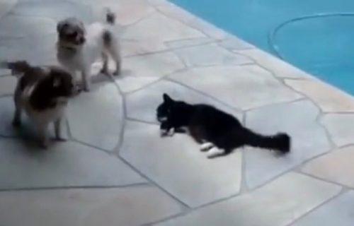 Ne diraj mačku dok spava (pored bazena)! Psi su je uznemiravali, a onda je jedan nagrabusio (VIDEO)