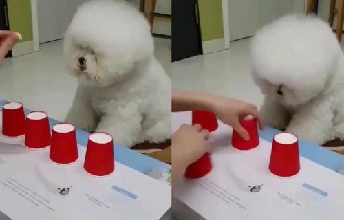 Mađioničarski izazov za psa! Ako pogodi ispod koje ČAŠE je poslastica, sledi mu NAGRADA (VIDEO)
