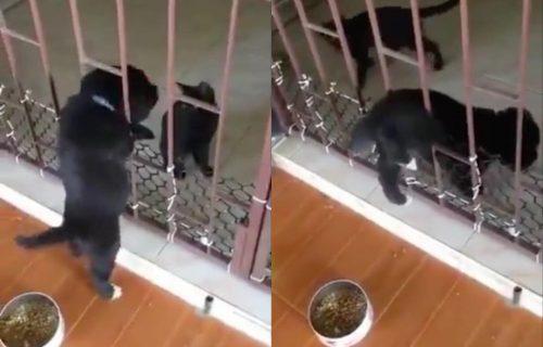 Prijatelj se u nevolji poznaje: Pas se zaglavio provlačeći se, a potez ove mačke je neverovatan! (VIDEO)