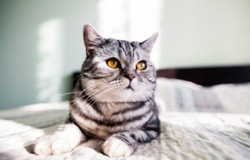 Opadanje DLAKE kod mačaka je najčešće bezopasna pojava, ali evo kada zahteva odlazak kod VETERINARA