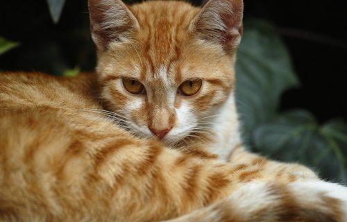 Ko je OPASNIJI? Reakcija mačke, kada joj se tigar PRIBLIŽIO, postala viralna (VIDEO)