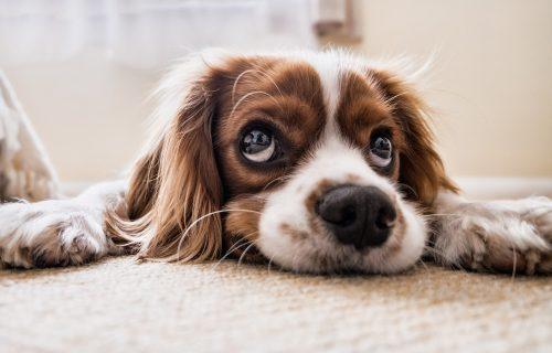 Psi, kao i mačke, imaju BRKOVE, ali da li ste znali koja im je FUNKCIJA?