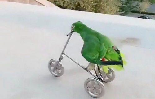 Luda vožnja: Otkačeni PAPAGAJ vozi BICIKL bolje nego neki ljudi (VIDEO)