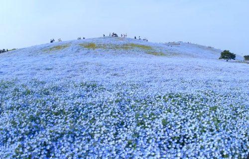 Neopisiva lepota: Magija 4 miliona plavih cvetića (FOTO+VIDEO)