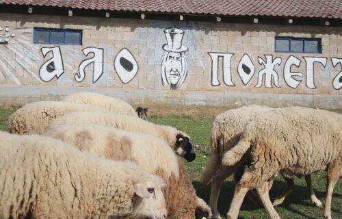 """Svi se čude """"MAGIJI"""" kod Kosjerića: Od kako Goranove ovce čuva ZMAJ nema ni vukova ni bolesti (FOTO)"""