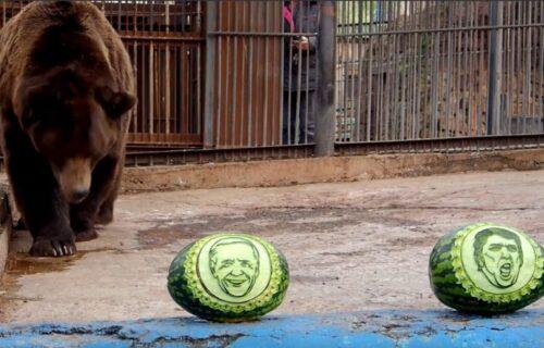 Mrki medved i dva tigra PROGNOZIRAJU izbore u SAD: Izabrali su lubenicu sa NJEGOVIM likom (VIDEO)