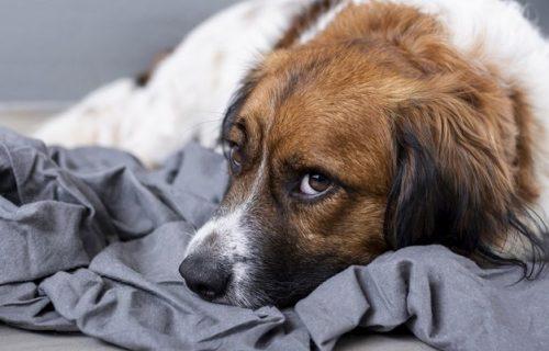 Da li ste znali: I psi mogu biti ANKSIOZNI