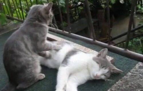 Relaksacija na terasi: Pogledajte kako izgleda kada jedna mačka MASIRA drugu (VIDEO)