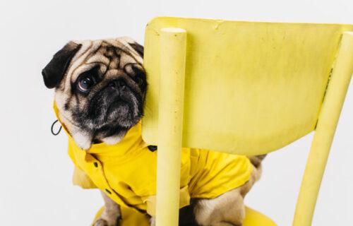 """Pas je dobio igračku MOPSA i odmah je ušao u """"konflikt"""" sa svojim SUPARNIKOM (VIDEO)"""
