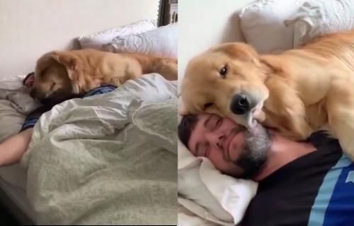 Buđenje za poželeti! Umiljati RETRIVER pokušava da natera svog vlasnika da ustane iz kreveta (VIDEO)