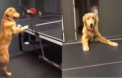 Najveći FAN: Retriver je NETREMICE gledao partiju stonog tenisa, skoro da se i priključio! (VIDEO)