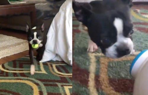 Više mu ništa ne treba u životu: Pas sve vreme POSKAKUJE od oduševljenja novom IGRAČKOM (VIDEO)