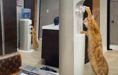 Neki ljubimci vole česmovaču, većina koristi činije, a ova mačka samostalno pije VODU iz aparata! (VIDEO)