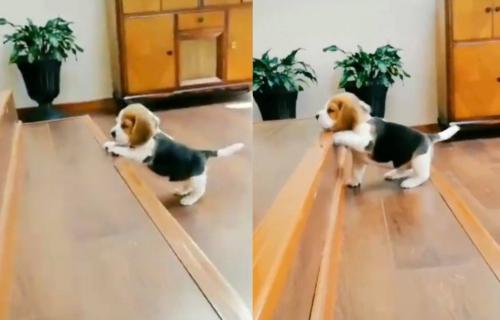 Borio se, borio i uspeo! Za ovako malenog psa prelazak preko dva STEPENIKA je veliki poduhvat (VIDEO)