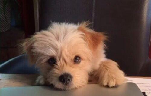 Treba mi više PAŽNJE! Presladak pas neće svojoj vlasnici da omogući ni SEKUND mira (VIDEO)