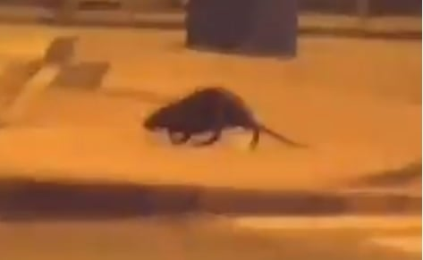Šta je ovo čudo? Zagrebom noću šeta neobična životinja, prolaznici u šoku (VIDEO)