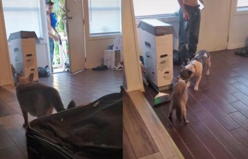 Doveli su novog PSA kući, a mačka im je jasno pokazala koliko joj se to (NE)DOPADA (VIDEO)
