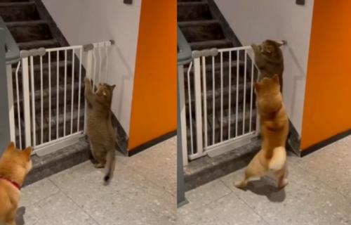 Gde si pošla? Mačka pokušala da preskoči ogradu, ali je njen drugar odlučio da je u tome SPREČI (VIDEO)