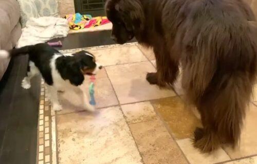 Volim ja tebe, ali ti igračke ne dam: Drugarstvo je kada se psi vole, iako je jedan CICIJA (VIDEO)
