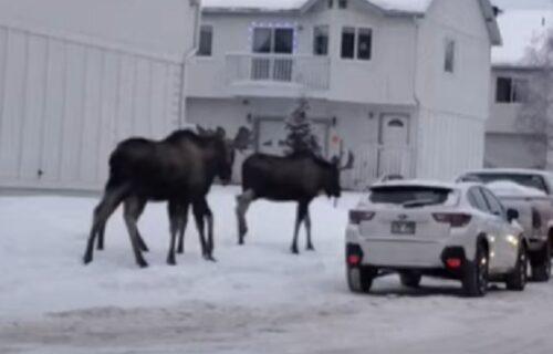 Sve je to tako normalno: Losovi prošetali centrom mesta, nekima su gledali i kroz prozor (VIDEO)