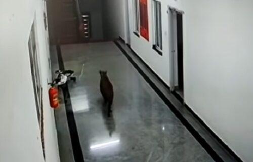 Kulturni leopard upao na fakultet, pogledao ima li nešto za njega, a onda je uradio OVO (VIDEO)