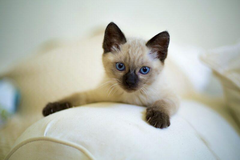 Mala sijamska maca