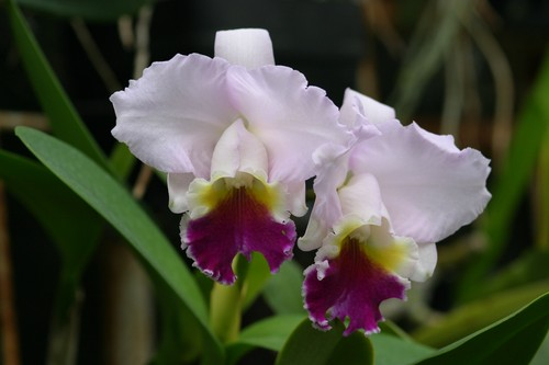 održavanje orhideja