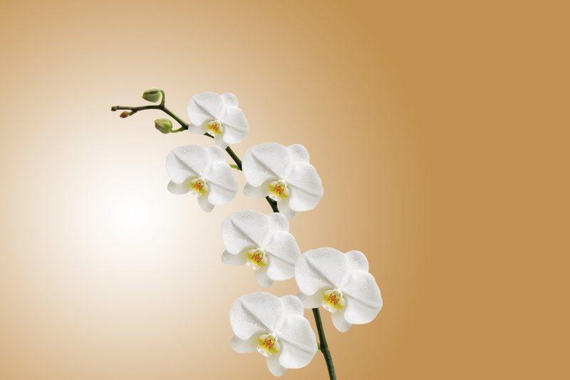 Održavanje orhideje