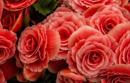 cveće za derasu u hladu