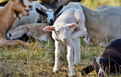 Uskrs ove godine oborio CENE prasića i jagnjića: Jedan PROBLEM za uzgajivače najviše uticao na tržišta