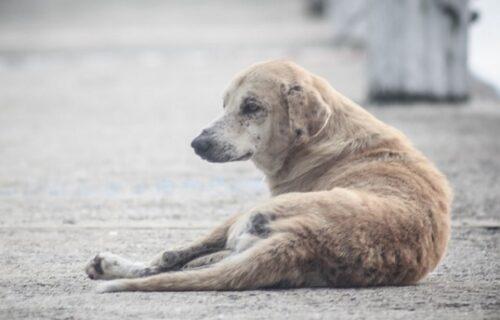 Političari pred izbore uhvatili pse lutalice i zalepili na njih svoje slike i slogane (FOTO)