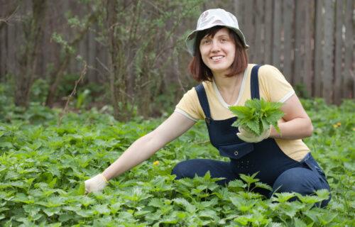 Napravite od koprive koncentrat za biljke: Vaše cveće će rasti ko ludo! (RECEPT)