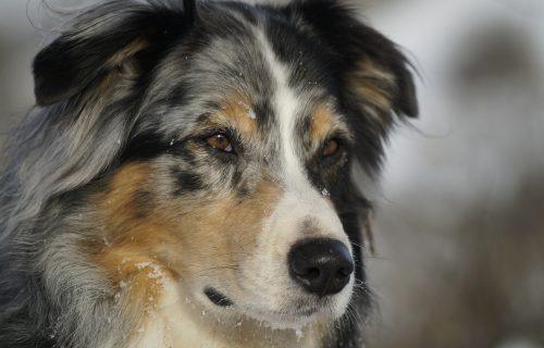 Ovaj pas igra društvene igre sa svojim vlasnicima i NEPOBEDIV JE (VIDEO)