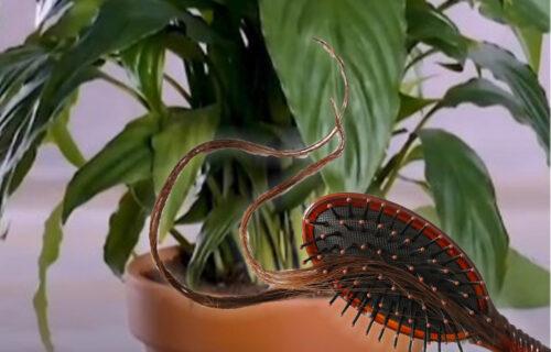 Nisu vam potrebna veštačka đubriva: OVO je najbolji lek za UVENULU biljku (VIDEO)