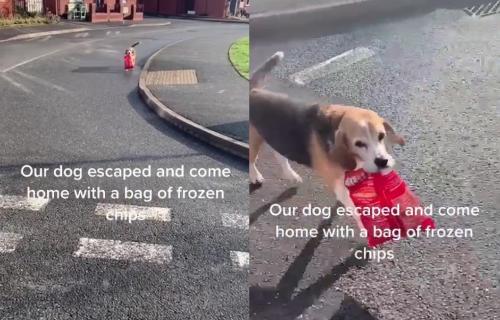 Pobegao je od kuće i vratio se, ali ne PRAZNIH ŠAPA: Bigl našao način da se izvini vlasnici (VIDEO)