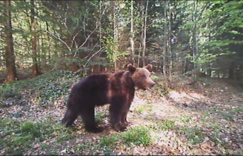 Vozači kod Žepe u ČUDU GLEDALI: Medved došao do ulice, pa krenuo da brsti sočno voće (FOTO)