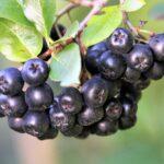 Možda vam nije omiljeno voće, ali ARONIJU bi trebalo redovno da konzumirate, a evo i zbog čega