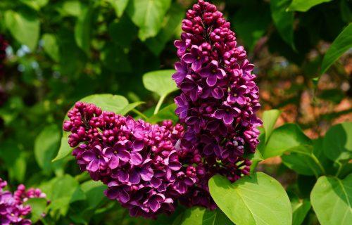 Neke vrste opstaju tokom CELE godine: Sve što je potrebno da znate o sadnji i cvetanju JORGOVANA