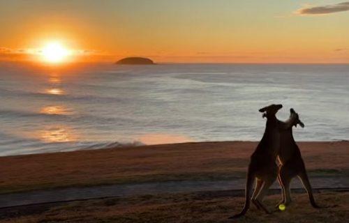 Romantičan prizor, al' zamalo: KENGURI iskoristili izlazak sunca da raščiste račune (VIDEO)